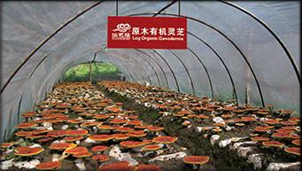 Organic Ganoderma Mushroom