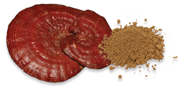 ganoderma-process