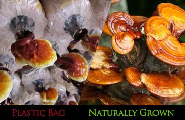 Organic Mushroom
